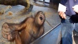 İllüzyon gösterisi orangutanı gülme krizine soktu