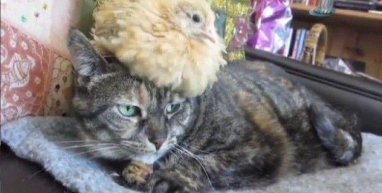 Kediyi annesi sanan civciv