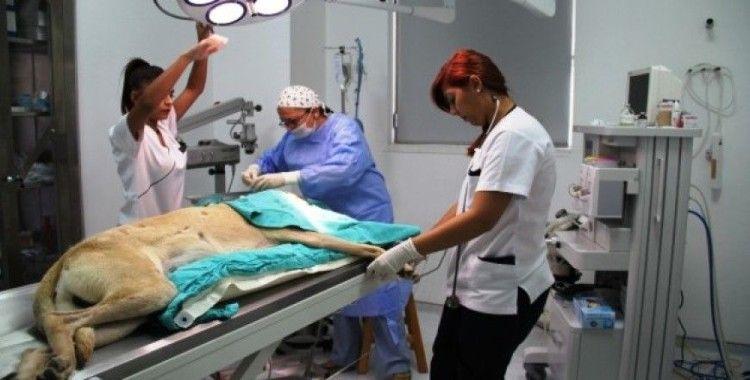 İlk kadın veteriner cerrahlar bir ilke imza atma peşinde