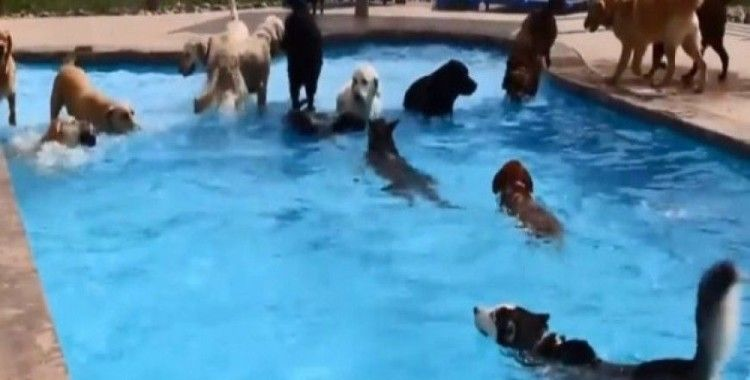 Köpeklerden havuz partisi