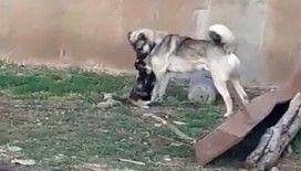 Kedi ile köpeğin kıskandıran dostluğu