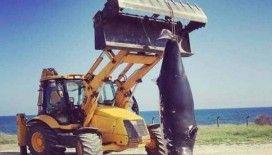 KKTC'de dev yunus balığı karaya vurdu