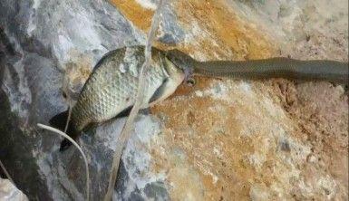 Yılana av olmaktan kurtulan sazan balığının zor anları