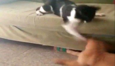 Boksör kedi köpeği fena benzetti