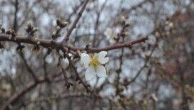 Edirne'de meyve ağaçları çiçek açtı