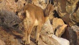 Yavru yaban keçisinin yaşam mücadelesi kamerada