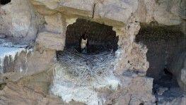 Karaleylek Sivas'ta görüntülendi