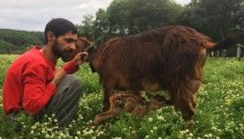 Köpeklerden kurtarılan karaca yavrusuna keçi 'anne' oldu