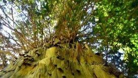 Avrupa'nın en yaşlı ağacı yaklaşık bin 230 yaşında