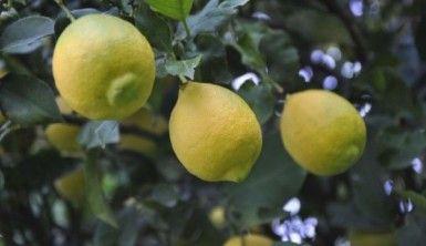 Limonun ateşini hasat düşürecek