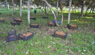 Kivi hasadına başlandı