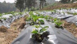 Osmanlı çileği yeni bir çeşit olarak bitki literatürüne girdi