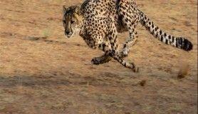 Dünyanın en hızlı kara hayvanları