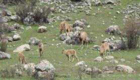 Baharla birlikte dağ keçileri sürü halinde geldi