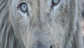 Türkiye'nin ilk beyaz aslanları İstanbul'da