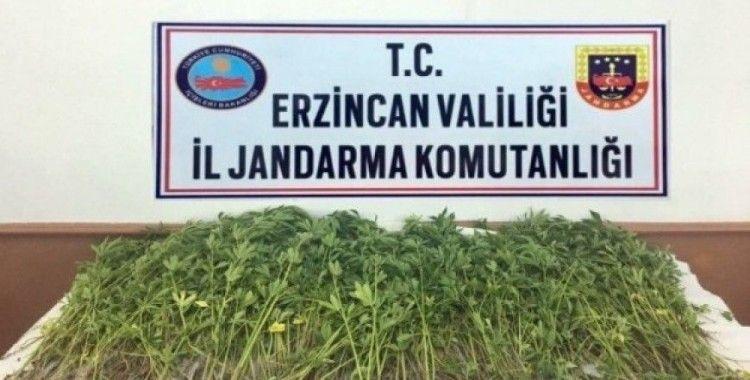 Erzincan'da 981 kök kenevir imha edildi