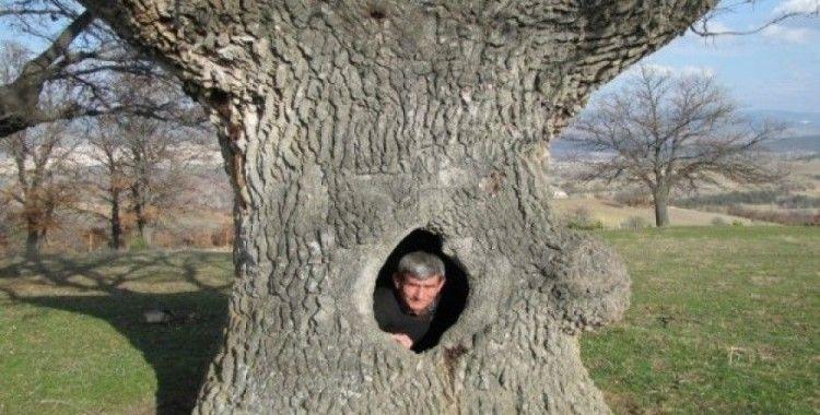 400 yıllık gövdesi boş meşe ağacı ilgi odağı