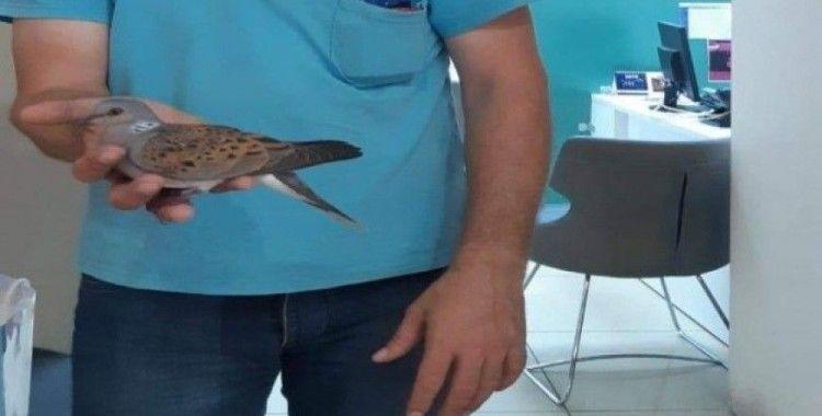 İnegöl'de nesli tükenmekte olan üveyik kuşu bulundu