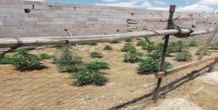 Bağ evinde yetiştirilen Hint kenevirleri imha edildi