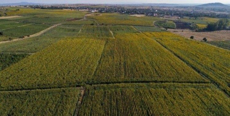 Trakya'nın 'Sarı gelini' havadan görüntülendi