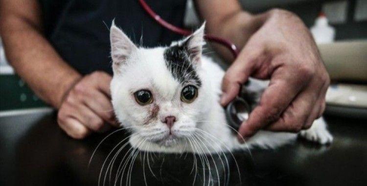 'Cüce' kedi Kaju'ya özel ilgi