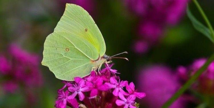 Burdur'da kelebek türlerine bir yenisi eklendi ve sayı 129 'a yükseldi