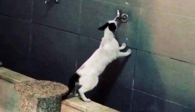 Sevimli kedi akmayan musluktan su içmeye çalıştı