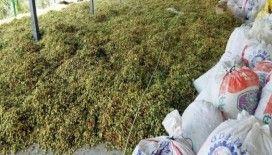 Aydın'da Antep fıstığı hasadı başladı