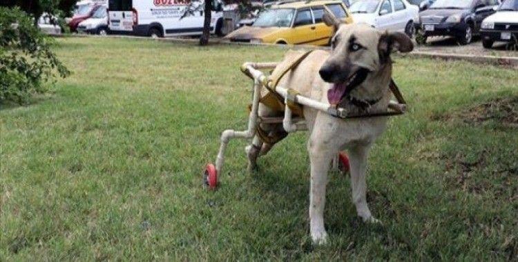 Yürüyemeyen köpeğe plastik borularla yürüteç yaptı