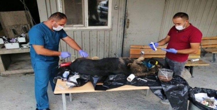 Yaralı Kurt cinsi köpek tedavi altına alındı