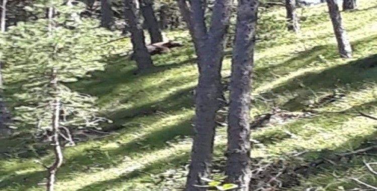 Aç kalan ayı, merada otlayan hayvanların yakınına kadar geldi