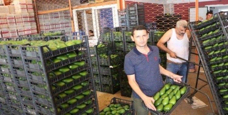 Alanya'dan Polonya'ya ilk kez avokado ihracatı başladı