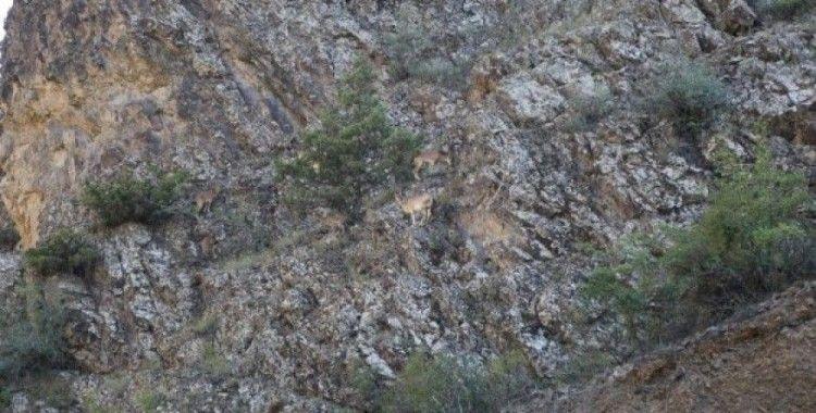 Artvin'de yaban keçisi sürüsü kameralara yakalandı