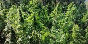 Hatay'da 15 bin kök Hint keneviri bitkisi ele geçirildi