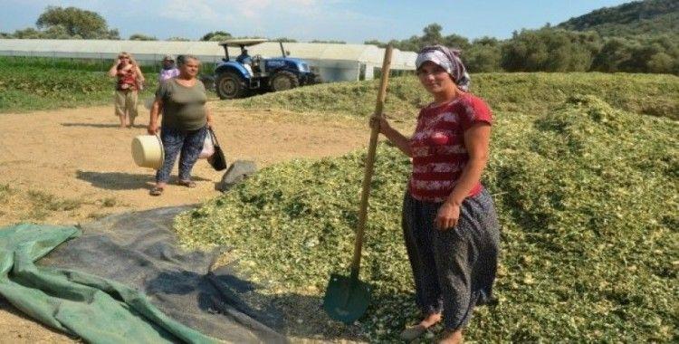 Çiftçiler kışlık kaba yem hazırlıklarına başladı