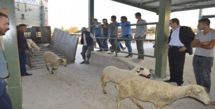 Genç çiftçilere 250 koyun hibe edildi