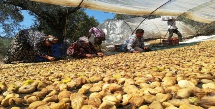 Aydın'da incir üreticisi şokta