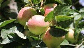 Amasya misket elmasının hasadı başladı