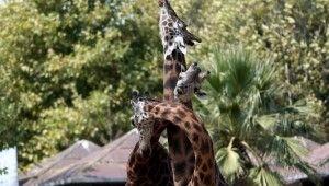 Zürafaların keyifli oyunları objektiflere yansıdı
