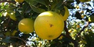 Aydın'da Akdeniz sineği ile mücadele başladı