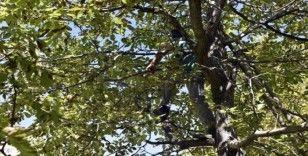 Gümüşhane'de son bir haftada 5 kişi ceviz ağacından düşerek ağır yaralandı