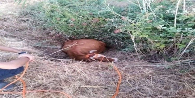 Bataklığa saplanan inek iş makinesi yardımı ile kurtarıldı