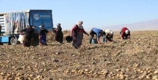 Niğde'de patates hasadı başladı