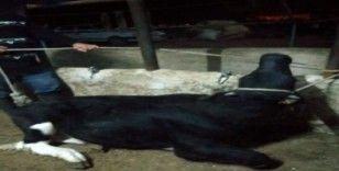Bekilli'de 'kuduz' alarmı