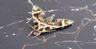 Konya'da askeri kamuflaj desenli kelebek bulundu