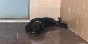 Dünya Hayvanları Koruma Gününde köpeği silahla vurdular