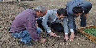 Demirözü'nde tarhun ekimi yapıldı