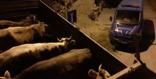 Jandarma hayvan hırsızlarını böyle yakaladı