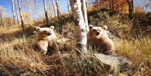 (Özel) Nemrut'un ziyaretçilerini kardeş boz ayılar karşılıyor