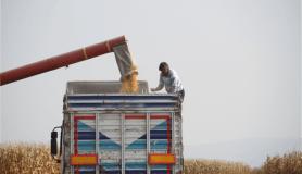 Arpa ve buğdayın yerini mısır aldı